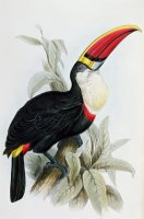 Red-billed Toucan by Edward Lear