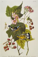 Audubon Black And Yellow Warbler Magnolia Warbler by John James Audubon