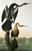 Black Billed Darter by John James Audubon