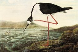 Black Necked Stilt by John James Audubon