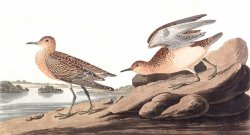 Buff Breasted Sandpiper by John James Audubon