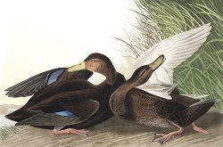 Dusky Duck by John James Audubon