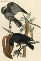 Fish Crow by John James Audubon