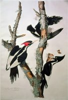 Ivory Billed Woodpecker From Birds of America 1829 by John James Audubon