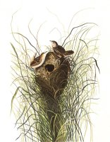 Nuttall's Lesser Marsh Wren by John James Audubon