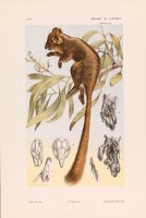 Leadbeater's Possum, Gymnobelideus Leadbeateri by John James Wild