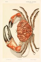 Tasmanian Giant Crab, Pseudocarcinus Gigas by John James Wild