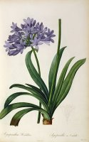 Agapanthus umbrellatus by Pierre Redoute