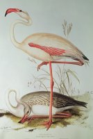 Flamingo by Edward Lear