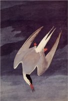 An Artic Tern 1833 by John James Audubon