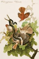 Ferruginous Thrush by John James Audubon