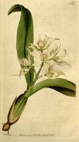 Prosthechea Fragrans (as Epidendrum Cochleatum Curtis) 1792 by Sydenham Teast Edwards